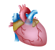 Heart health, circulation, blood pressure & blood vessels